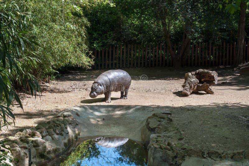 Hipopotamowy pigmej w zoo parku obraz royalty free