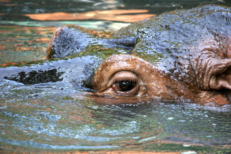 Hipopotamus royalty free stock photography