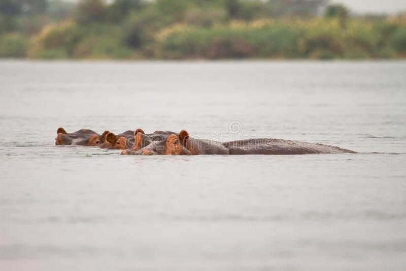 Hipopotamy zdjęcia royalty free