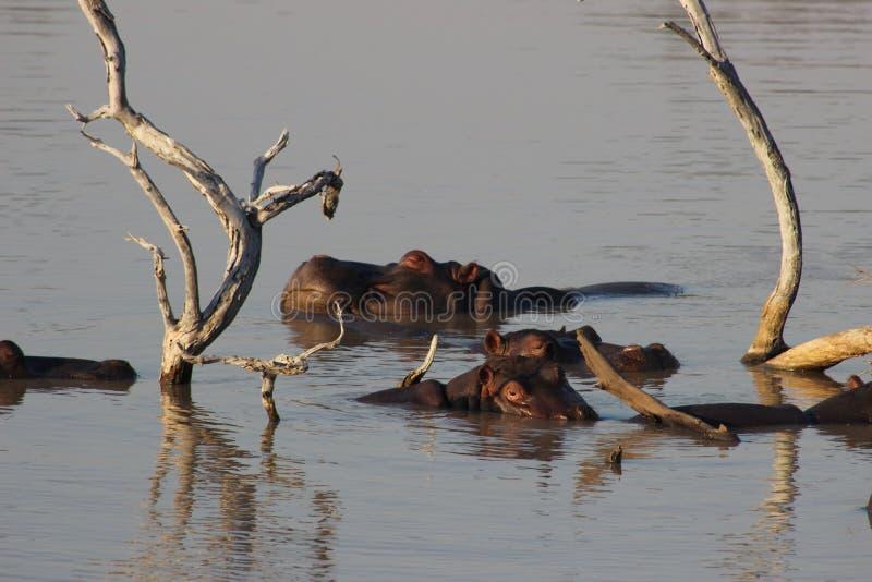 Hipopotamy leniwi się wokoło w wodzie zdjęcia royalty free