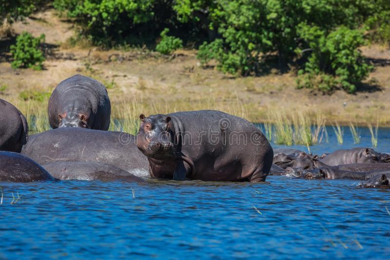 Hipopotamy odpoczywa w chłodno wodzie zdjęcia royalty free