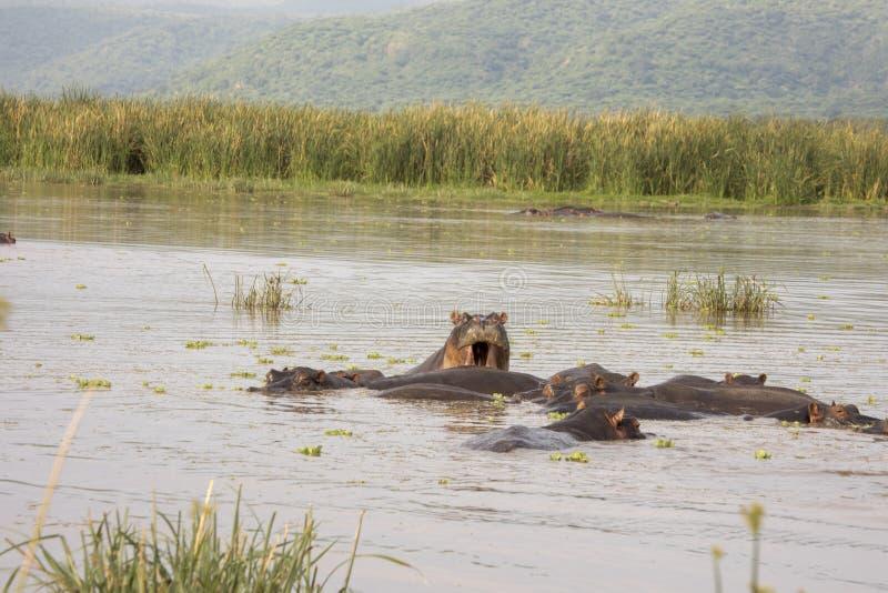 Hipopotamy wewnątrz nawadniają, Jeziorny Manyara, Tanzania zdjęcia stock