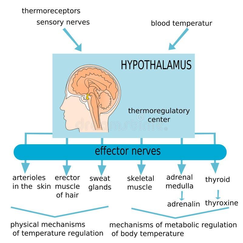Hipotálamo ilustração do vetor