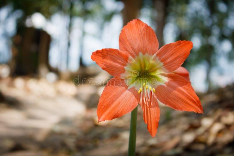 Hippeastrum ή λουλούδι Amaryllis στοκ φωτογραφίες