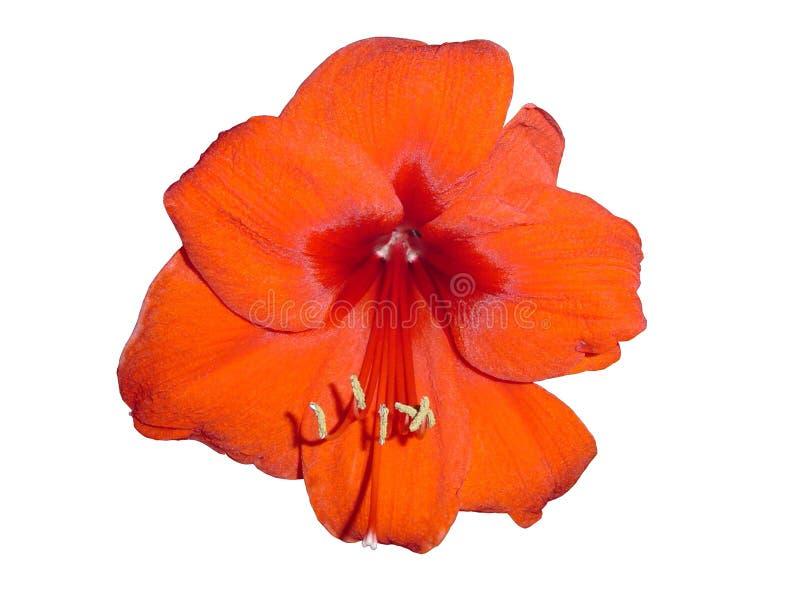 hippeastrum цветеня стоковое фото rf