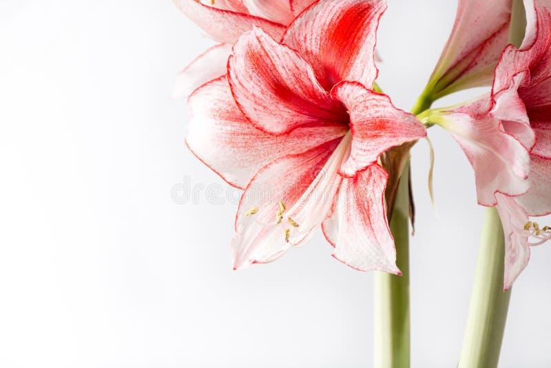 Hippeastrum Amaryllis Charisma, den holländska hybriden, vit-rosa färg blommar arkivfoton