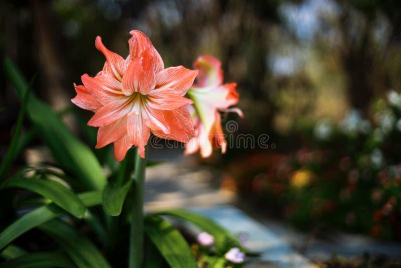 Hippeastrum flower on dark stock images