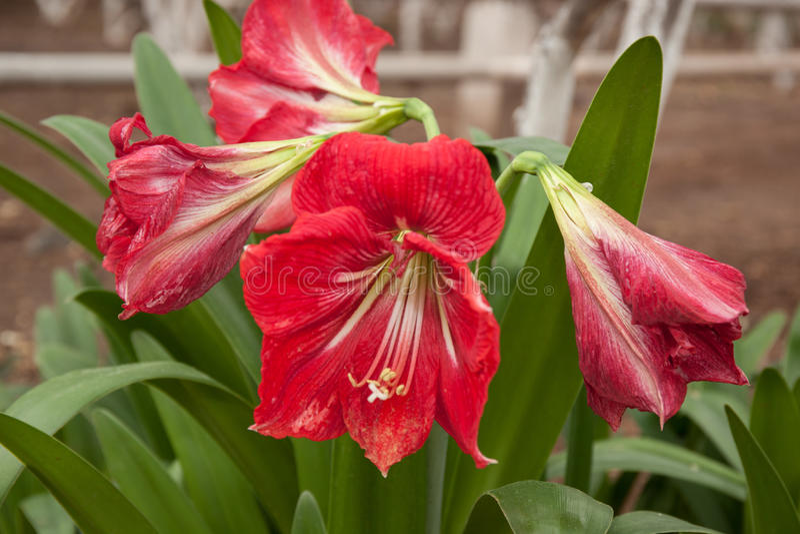 Hippeastrum red flower stock photo