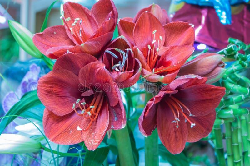 Hippeastrum rouge-foncé magique dans un fleuriste à l'arrière-plan vert vibrant trouble images stock