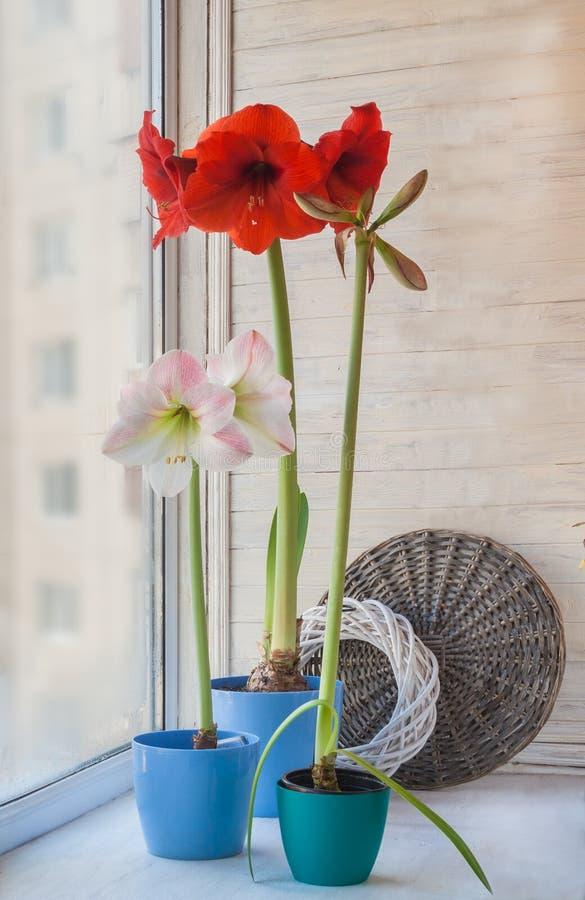 Hippeastrums dans pots bleus sur la fenêtre image libre de droits