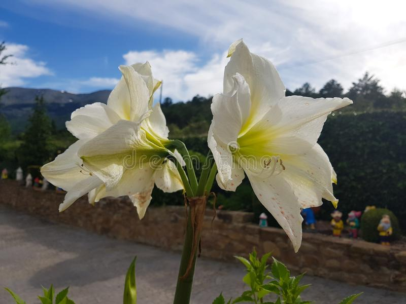 Hippeastrumvittatum, amaryllisbloem in al zijn pracht met blauwe achtergrond in de tuin royalty-vrije stock foto's