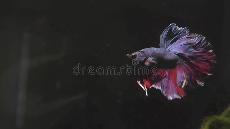 Hippie (betta splendens) flaring around royalty free stock images