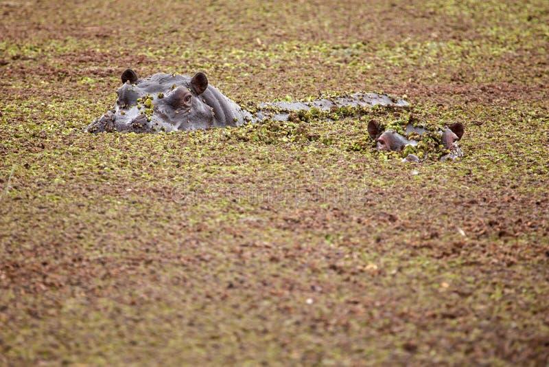 Hippo - δέλτα Okavango - Moremi Ν Π στοκ φωτογραφία