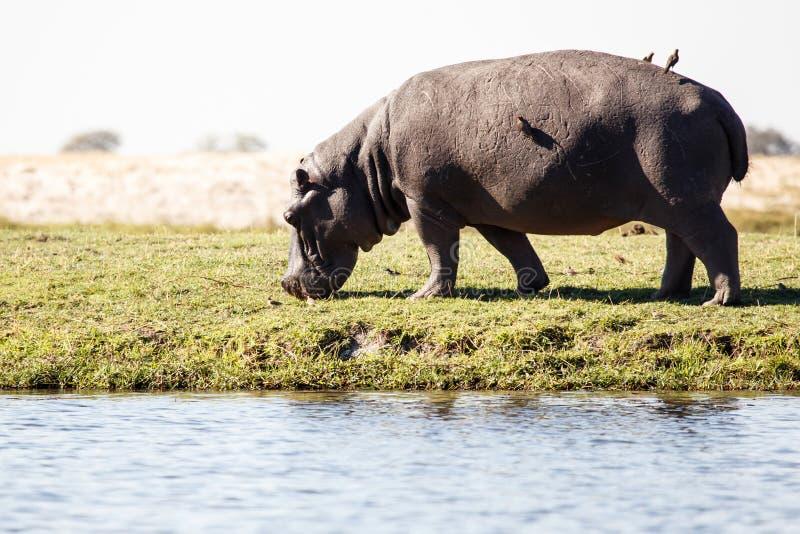 Hippo - ποταμός Chobe, Μποτσουάνα, Αφρική στοκ φωτογραφία με δικαίωμα ελεύθερης χρήσης