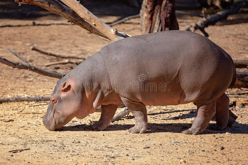 Hippo που έχει έναν περίπατο στοκ φωτογραφίες