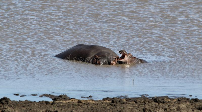 Hippo στο νερό με το παιχνίδι μωρών στοκ εικόνα με δικαίωμα ελεύθερης χρήσης