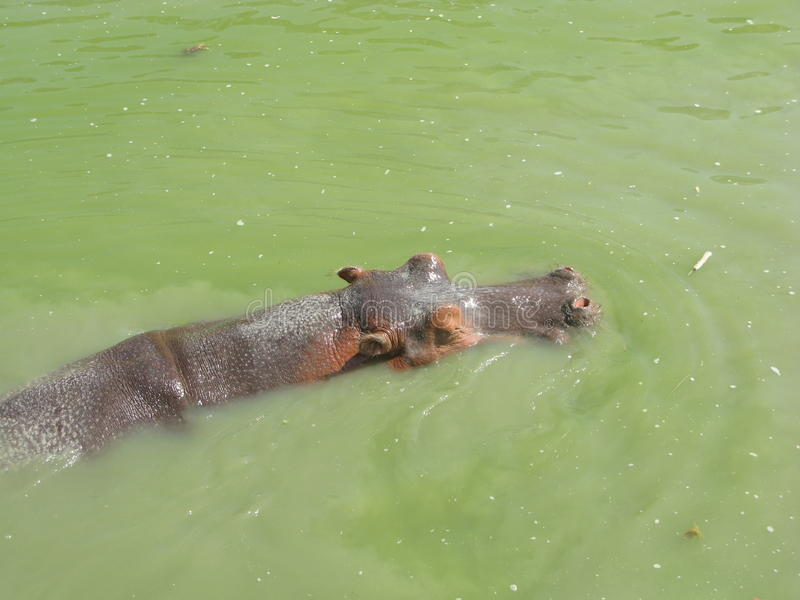 Download Hippo stock photo. Image of nile, mammal, hippo, hunger - 11500250