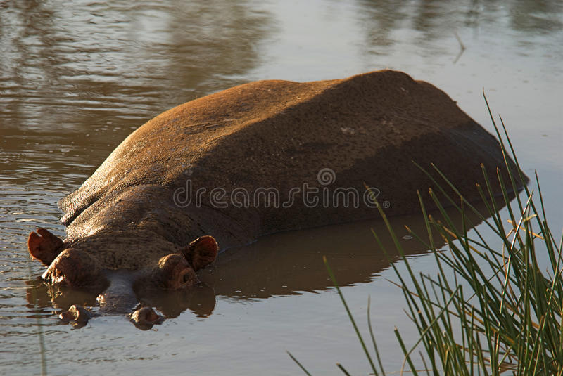 Download Hippo Royalty Free Stock Photography - Image: 11851327