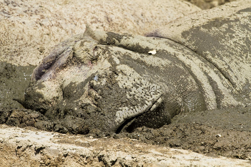 Hippo. Resting in the mud stock photography