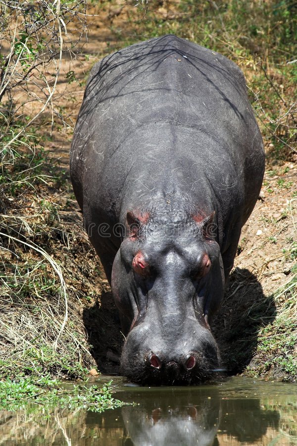 Free Hippo Royalty Free Stock Photos - 1406768