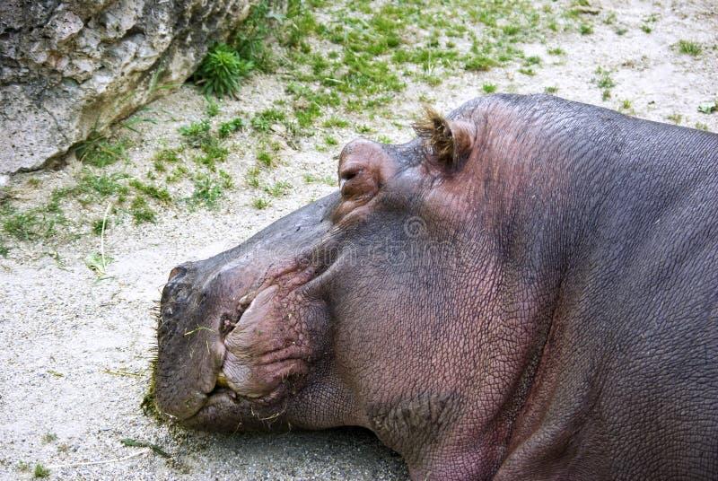 Download Hippo stock photo. Image of suntanning, heavy, head, gray - 14965922