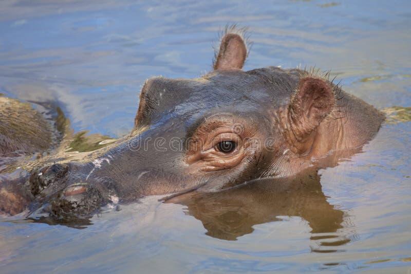 Download Hippo stock photo. Image of game, animals, tourism, botswana - 18051358