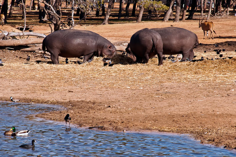 Download Hippo  . stock image. Image of overweight, mouth, wildlife - 22574995