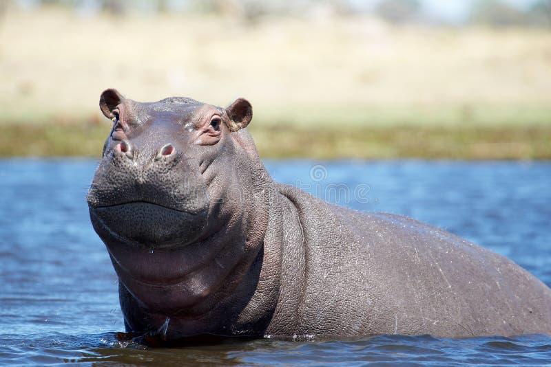 hippo στοκ εικόνες