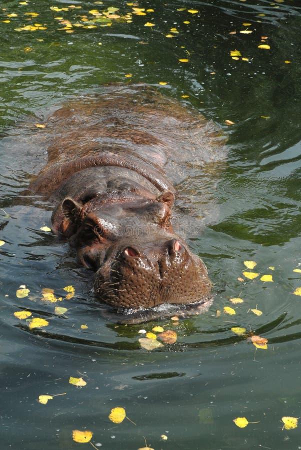Hippo 5 royalty free stock photography