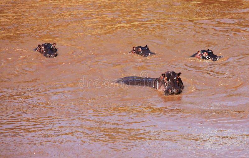 hippo fotografia stock libera da diritti