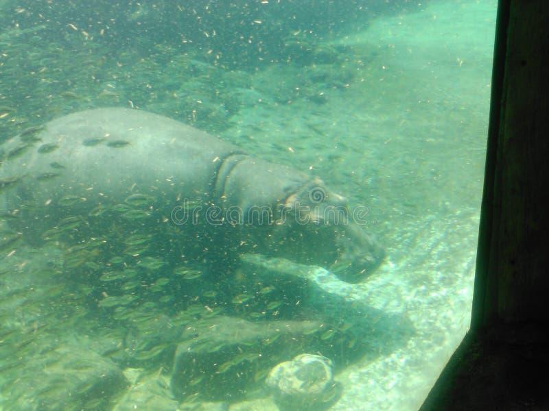 hippo foto de stock royalty free