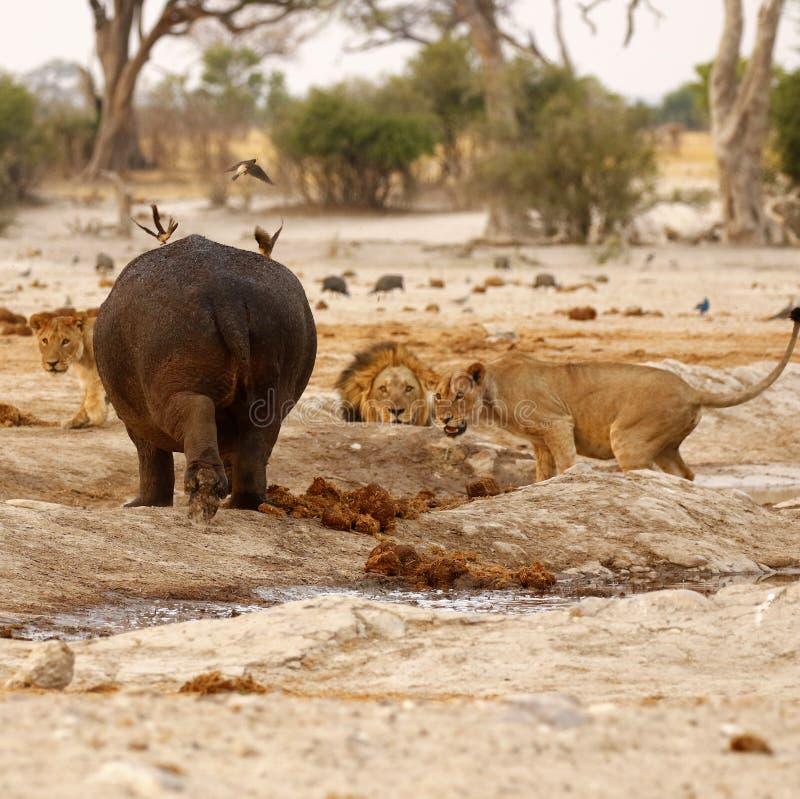 Hippo Attack stock image