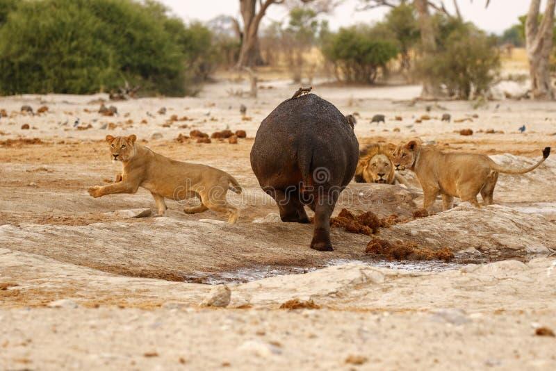 Hippo Attack stock photo