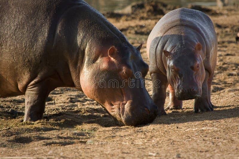 Download Hippo baby stock image. Image of wild, river, safari - 10391159