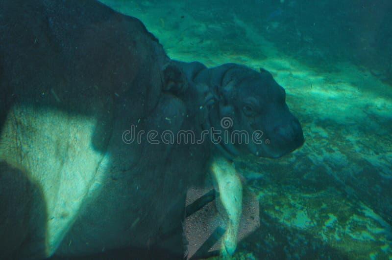 Hippo baby swims stock photos