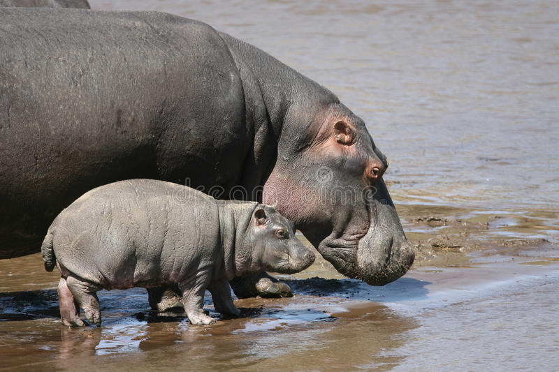 Hippo and baby in the water royalty free stock photography