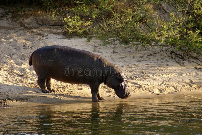 Hippo on the bank of the Zambezi River stock photo