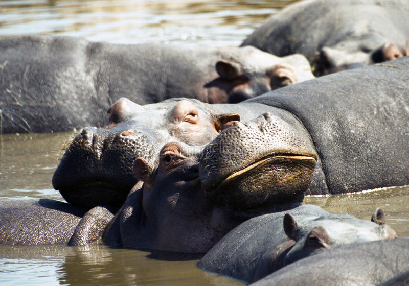 Hippo with big smile royalty free stock image