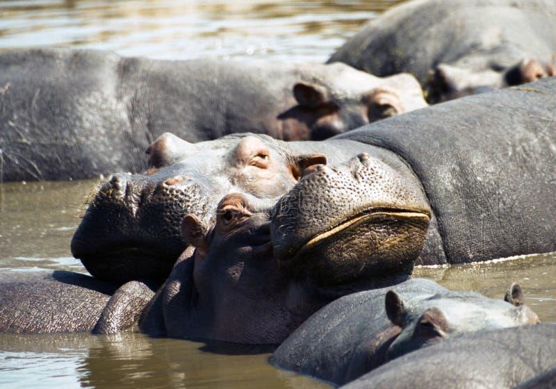 Hippo with big smile. Serengeti, Tanzania royalty free stock image