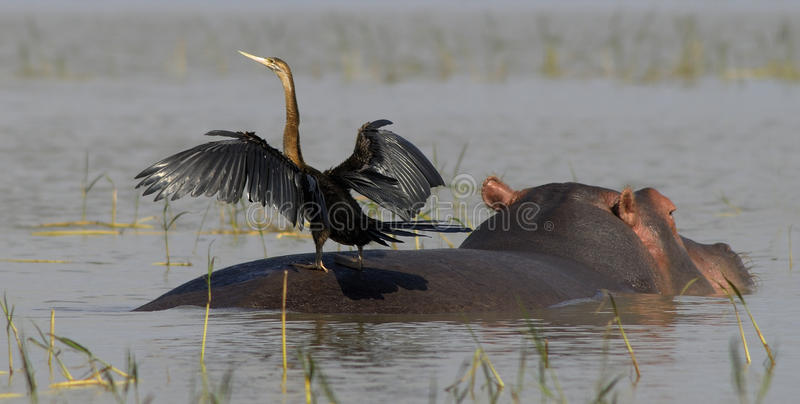 Download Hippo with bird stock photo. Image of hippo, ethiopia - 11178808