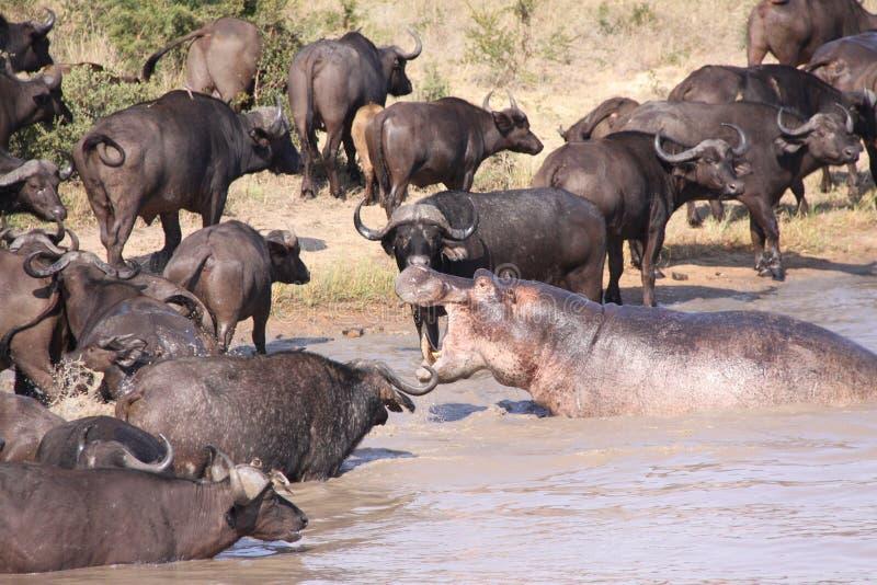 Hippo chasing Cape Buffalo stock image
