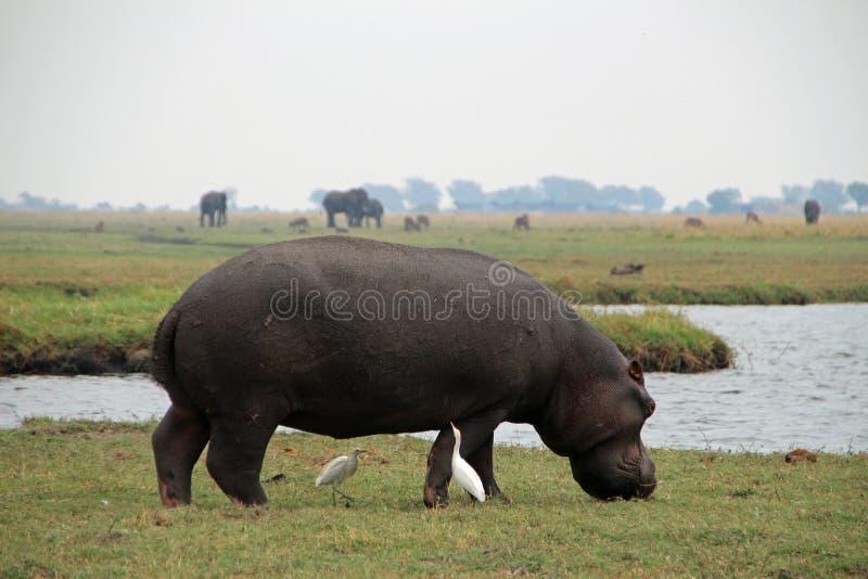 Hippo in Chobe National Park in Botswana royalty free stock photography