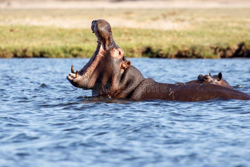 Hippo - Chobe-Rivier, Botswana, Afrika royalty-vrije stock fotografie