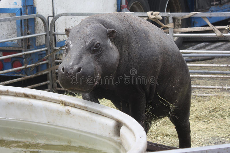 Download Hippo Climbing Into Pool stock photo. Image of domestic - 32918898