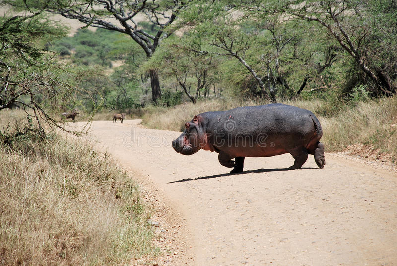 Hippo crossing the road royalty free stock photo