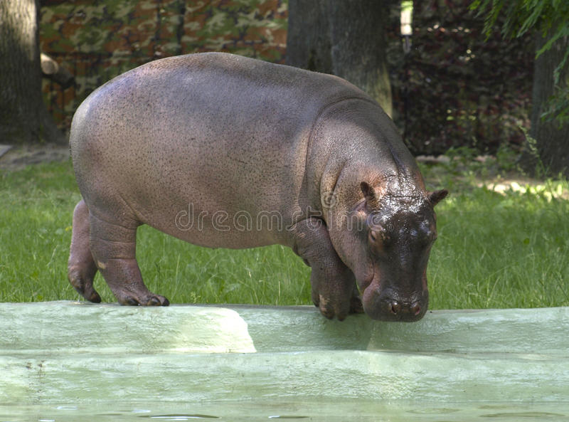 Hippo cub royalty free stock photos
