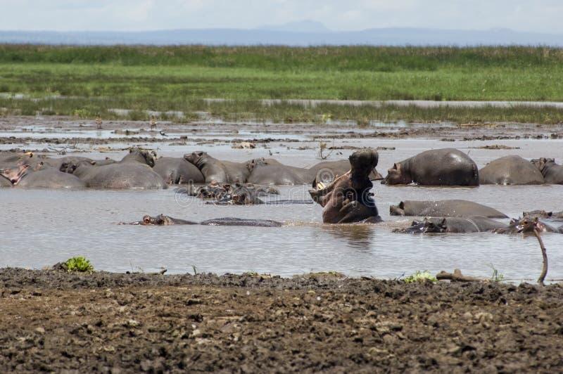 Hippo in de pool stock afbeelding