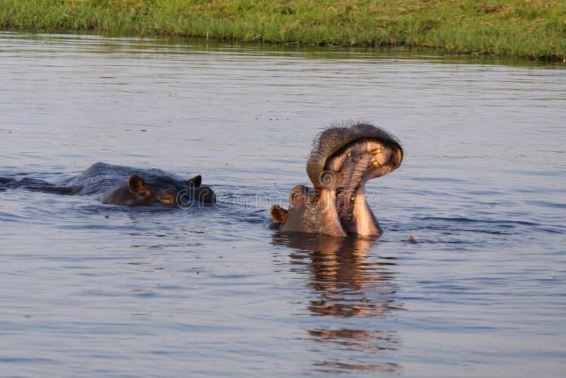Hippo die de mooie tanden tonen royalty-vrije stock foto's