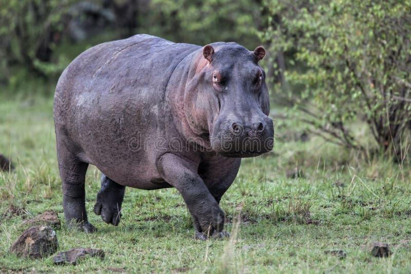 Hippo die in Masai Mara gr. in Kenia loopt royalty-vrije stock foto's