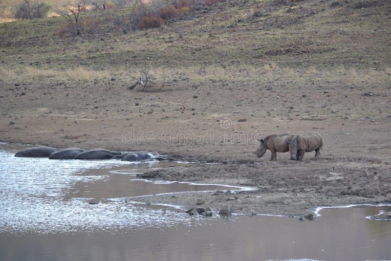 Hippo en de Rinoceros komen samen stock foto